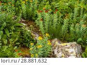 Купить «Flowering plant golden root (Rhodiola rosea) in a natural environment», фото № 28881632, снято 20 июля 2018 г. (c) Евгений Харитонов / Фотобанк Лори