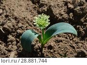 Купить «Молодой росток декоративного лука на фоне земли», эксклюзивное фото № 28881744, снято 26 мая 2016 г. (c) lana1501 / Фотобанк Лори