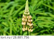 Купить «Цветущий люпин многолистный (лат. Lupinus polyphyllus)», эксклюзивное фото № 28881756, снято 26 мая 2016 г. (c) lana1501 / Фотобанк Лори