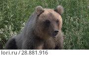 Купить «Портрет камчатского бурого медведя», видеоролик № 28881916, снято 1 августа 2018 г. (c) А. А. Пирагис / Фотобанк Лори