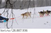 Купить «Team of husky sled dogs with dog-driver», видеоролик № 28887936, снято 23 февраля 2018 г. (c) Игорь Жоров / Фотобанк Лори