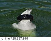 Купить «Funny young polar bear in lake with car tire. Finnish Lapland», фото № 28887996, снято 16 июля 2018 г. (c) Валерия Попова / Фотобанк Лори
