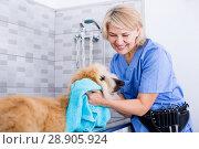 Купить «mature woman hairdresser wipes puppy of Afghan hound in hairdresser for dogs», фото № 28905924, снято 17 октября 2017 г. (c) Татьяна Яцевич / Фотобанк Лори