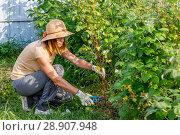 Обрезка малины после сбора урожая. Молодая женщина в шляпе работает в саду. Стоковое фото, фотограф Светлана Голинкевич / Фотобанк Лори