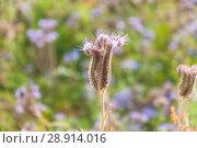 Купить «Цветок Фацелии пижмолистной, или рябинколистной, фиолетовой пижмы (Phacelia tanacetifolia)», фото № 28914016, снято 7 июля 2018 г. (c) Алёшина Оксана / Фотобанк Лори