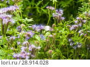 Купить «Фацелия пижмолистная, или рябинколистная, фиолетовая пижма (Phacelia tanacetifolia)», фото № 28914028, снято 7 июля 2018 г. (c) Алёшина Оксана / Фотобанк Лори