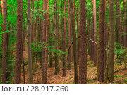 Купить «tree trunks in the forest, shooting on a summer day», фото № 28917260, снято 14 августа 2017 г. (c) Константин Лабунский / Фотобанк Лори