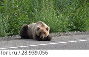 Купить «Бурый медведь отдыхает на обочине дороги», видеоролик № 28939056, снято 4 августа 2018 г. (c) А. А. Пирагис / Фотобанк Лори