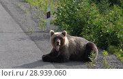 Купить «Камчатский бурый медведь лежит на обочине дороги», видеоролик № 28939060, снято 4 августа 2018 г. (c) А. А. Пирагис / Фотобанк Лори