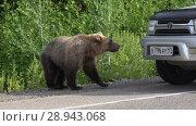 Купить «Бурый медведь попрошайка на дороге», видеоролик № 28943068, снято 4 августа 2018 г. (c) А. А. Пирагис / Фотобанк Лори