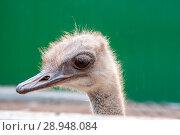 Купить «Ostrich head close-up», фото № 28948084, снято 27 июля 2018 г. (c) Катерина Белякина / Фотобанк Лори
