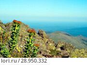 Купить «Flowering plant golden root (Rhodiola rosea) in a natural environment», фото № 28950332, снято 23 июля 2018 г. (c) Евгений Харитонов / Фотобанк Лори