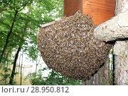 Купить «Berlin, Germany - Bee swarm hangs in a tree as a grape under a swarm coffer», фото № 28950812, снято 17 июня 2016 г. (c) Caro Photoagency / Фотобанк Лори