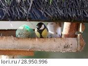 Купить «New Kaetwin, Germany - Great tit is sitting in a bird's house next to a titmouse», фото № 28950996, снято 22 января 2017 г. (c) Caro Photoagency / Фотобанк Лори