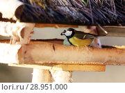 Купить «New Kaetwin, Germany - Great tit eats Koerner from a Vogelhaeuschen in winter», фото № 28951000, снято 22 января 2017 г. (c) Caro Photoagency / Фотобанк Лори