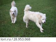 Купить «New Kaetwin, Germany, Pyrenaeenberghunde», фото № 28953068, снято 5 января 2018 г. (c) Caro Photoagency / Фотобанк Лори
