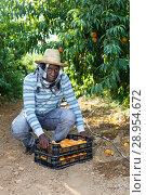 Купить «Successful male owner of orchard gathering harvest of ripe peaches on sunny day», фото № 28954672, снято 12 июля 2018 г. (c) Яков Филимонов / Фотобанк Лори