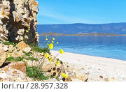 Купить «Lake Baikal in summer. The coast of the island of Olkhon. Yellow poppy flowers. This protected species Papaver popovii Sipliv is endemic of the Baikal region, is listed in the Red Data Book of Buryatia», фото № 28957328, снято 9 августа 2018 г. (c) Виктория Катьянова / Фотобанк Лори