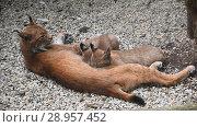 Купить «Mother lynx feeding two kittens close up», видеоролик № 28957452, снято 6 августа 2017 г. (c) Anton Eine / Фотобанк Лори