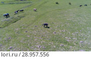 Купить «Flight over wild horses herd on mountain meadow. Summer mountains wild nature. Freedom ecology concept.», видеоролик № 28957556, снято 27 июля 2018 г. (c) Александр Маркин / Фотобанк Лори