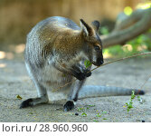 Red-necked wallaby or Bennett's wallaby (Macropus rufogriseus) with twig. Стоковое фото, фотограф Валерия Попова / Фотобанк Лори