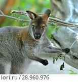Portrait of Red-necked wallaby or Bennett's wallaby (Macropus rufogriseus) Стоковое фото, фотограф Валерия Попова / Фотобанк Лори