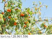 Купить «Ветви с гроздьями спелой рябины в солнечный день», фото № 28961596, снято 11 августа 2018 г. (c) Екатерина Овсянникова / Фотобанк Лори