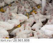 Купить «Белые куры на птицефабрике. Промышленное производство мяса», фото № 28961808, снято 12 июля 2012 г. (c) Олег Хархан / Фотобанк Лори