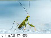 Купить «Богомол зелённого цвета на голубом фоне», эксклюзивное фото № 28974656, снято 10 августа 2018 г. (c) Игорь Низов / Фотобанк Лори