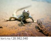 Купить «Two lizards on the rocks», фото № 28982040, снято 23 сентября 2014 г. (c) Куликов Константин / Фотобанк Лори