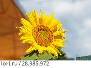 Купить «Подсолнечник», эксклюзивное фото № 28985972, снято 5 августа 2018 г. (c) Александр Щепин / Фотобанк Лори