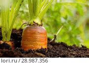 Купить «Свежая морковь на грядке», фото № 28987356, снято 24 августа 2018 г. (c) Наталия Кузнецова / Фотобанк Лори
