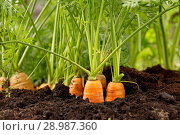Купить «Свежая морковь на грядке», фото № 28987360, снято 24 августа 2018 г. (c) Наталия Кузнецова / Фотобанк Лори