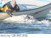 Купить «Central America, Mexico, Baja California Sur, Puerto San Carlos, Magdalena Bay (Madelaine Bay), Tourist looking at Gray Whale (Eschrichtius robustus), physical contact.», фото № 28997916, снято 27 февраля 2017 г. (c) age Fotostock / Фотобанк Лори