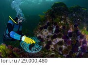 Купить «Professional diver capturing sea urchins. Purple sea urchin. Black sea urchin (Paracentrotus lividus). Eastern Atlantic. Galicia. Spain. Europe.», фото № 29000480, снято 12 июля 2013 г. (c) age Fotostock / Фотобанк Лори