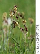 Купить «Field woodrush or Good Friday grass, Luzula campestris, a weed rush flowering in a garden lawn, April», фото № 29001748, снято 21 февраля 2019 г. (c) age Fotostock / Фотобанк Лори
