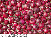 Купить «Красные луковицы на решетки», фото № 29012428, снято 10 августа 2018 г. (c) Александр Романов / Фотобанк Лори