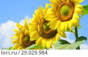 Купить «Sunflower flowers on sunny day», видеоролик № 29029984, снято 13 июля 2018 г. (c) Володина Ольга / Фотобанк Лори