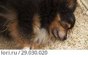 Купить «Dog lies and coughs», видеоролик № 29030020, снято 30 августа 2018 г. (c) Илья Шаматура / Фотобанк Лори