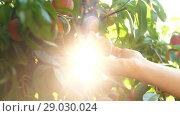 Купить «Woman Picking Peaches From Branch», видеоролик № 29030024, снято 30 августа 2018 г. (c) Илья Шаматура / Фотобанк Лори