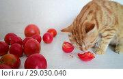 Купить «Cat is eating ripe tomatoes», видеоролик № 29030040, снято 10 августа 2018 г. (c) Володина Ольга / Фотобанк Лори