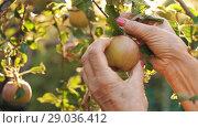 Купить «Woman picking an apple on sunset», видеоролик № 29036412, снято 26 августа 2018 г. (c) Илья Шаматура / Фотобанк Лори
