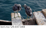 Купить «Two fledgling herons stand next to nest on wooden pier against the backdrop of the sea. Arabian Reef-egret or Western Reef Heron (Egretta gularis schistacea)», видеоролик № 29037044, снято 1 сентября 2018 г. (c) Некрасов Андрей / Фотобанк Лори