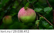 Купить «Apple tree with apples is wet from the rain», видеоролик № 29038412, снято 6 августа 2018 г. (c) Володина Ольга / Фотобанк Лори