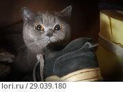 Купить «Frightened purebred cat hid in the wardrobe among the shoes», фото № 29039180, снято 23 мая 2018 г. (c) Георгий Дзюра / Фотобанк Лори