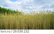 Купить «yellow wheat in the field, fragment», видеоролик № 29039232, снято 4 июля 2018 г. (c) Володина Ольга / Фотобанк Лори