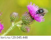 Купить «A bumblebee collects nectar from a flower», фото № 29045448, снято 23 июля 2018 г. (c) Александр Клопков / Фотобанк Лори
