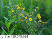 Купить «Курильский чай кустарниковый (Pentaphylloides fruticosa)», фото № 29045624, снято 14 августа 2018 г. (c) Марина Володько / Фотобанк Лори