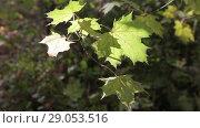 Купить «Ветвь осенних желтых кленовых листьев качается на ветру», видеоролик № 29053516, снято 16 октября 2017 г. (c) Круглов Олег / Фотобанк Лори
