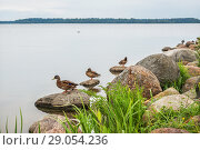 Купить «Утки на озере Ducks  on the shore of the Valdai lake», фото № 29054236, снято 19 августа 2018 г. (c) Baturina Yuliya / Фотобанк Лори